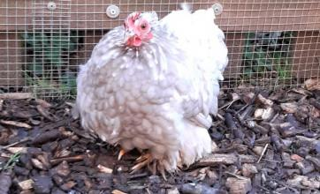 Woodbury House Care Home, Berkshire-Our adventurous chicken Pearl, safely back in her pen!